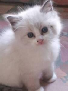 Ragdoll Kittens Nyora South Gippsland Preview