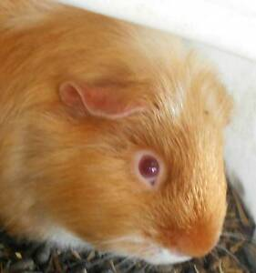 guinea pigs.............................. Waterford West Logan Area Preview