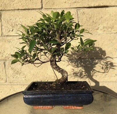 Ficus Bonsai Tree 15 Year Old Indoor/Outdoor S-Shaped Curved Plant Large Big Indoor Plants Ficus