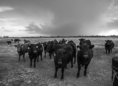 Black and White Photography Print - Picture of Black Angus Cows in Kansas Black And White Photography