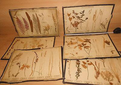 6 x altes Herbarium, Pflanzenzusammenst., Dr. Schlüter & Dr. Mass, Halle S. gebr