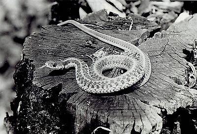 1938 Original Photo Garter Snake Sticks Tongue Out On Tree Stump In Nature Scene