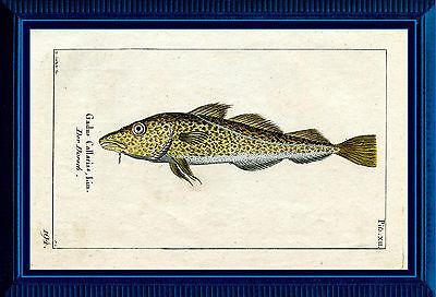 Dorsch - Kupferstich 1784 altkoloriert, Graphik Grafik Fische - Gadus Callarias