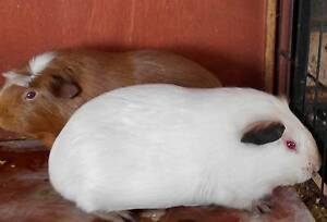 female guinea pigs Waterford West Logan Area Preview