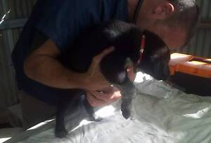Maremma x Border Collie Pups Black River Townsville Surrounds Preview