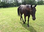 Companion Horse for Adoption