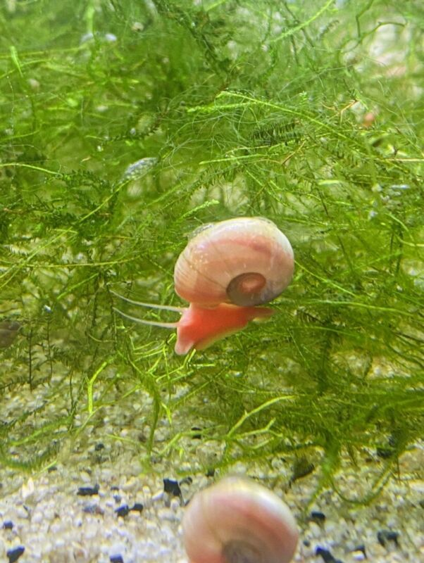 6 Pink+6 Blue Ramshorn Snails With 2 type Free Floating Plant Tank Live Cleaner
