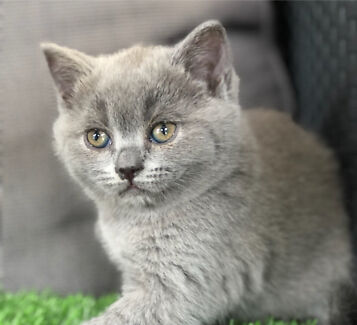 British shorthair blue female ready now