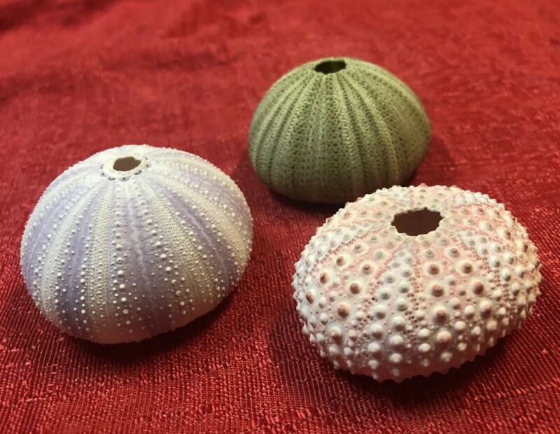 Lot Of 3 Sea Urchin : Natural Pink, Green and Purple Nautical Beach Decor