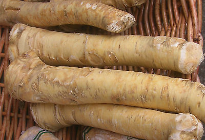 Horseradish Roots   1Lb Organic Bare Root Ready To Eat Or Plant 1 Pound 1 Lb