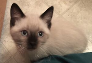 Cute & cuddly blue & seal-point siamese kittens (Ad 1)