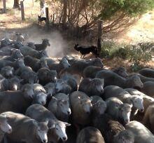 WA Working Dog Training Waroona Waroona Area Preview