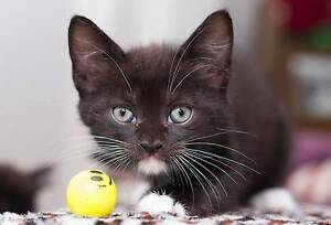 AK1583 : Boots - KITTEN FOR ADOPTION - Vet Work Included Butler Wanneroo Area Preview