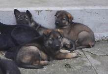 Purebred German Shepherd pups the ultimate family protection Logan Village Logan Area Preview