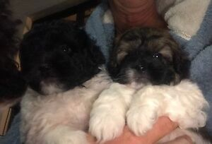 Tiboodle Pups ready mid July only 2 left Edens Landing Logan Area Preview