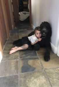 Lost our Standard Poodle Wilson