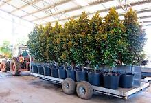 Magnolia grandiflora trees Wandi Kwinana Area Preview