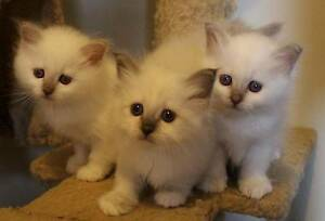 Lovely Lilac Point Birman Kittens For Sale Kingsgrove Canterbury Area Preview