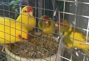 Kakariki parrots Lawnton Pine Rivers Area Preview