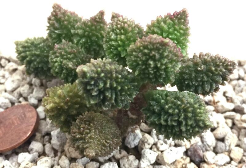 Succulent Plant--Adromischus marianiae herrei Kourkammaber-ONE LEAVE for ROOTING