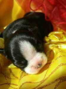 Chiots Boston Terrier