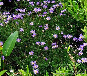 8 Brachyscome Break O Day Plant Groundcover Native Rock Daisy Swan River Garden