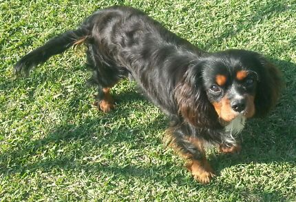 Cavalier king Charles spaniel Banora Point Tweed Heads Area Preview