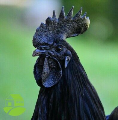 6 Black Ayam Cemani Fertile Hatching Eggs FLF LINE =Highest Quality of Cemanis