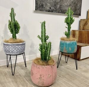 🌵Gorgeous Euphorbia cacti including deco  pots/ stands $65ea 🌵 Worongary Gold Coast City Preview