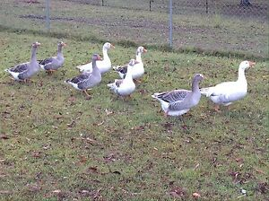 Geese For Sale Redland Bay Redland Area Preview