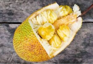 Jack fruit plants Stapylton Gold Coast North Preview