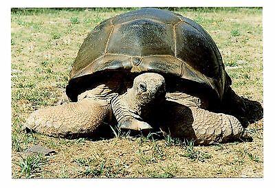 Giant Tortoise Postcard Catskill Game Farm New York From Aldabra Islands New