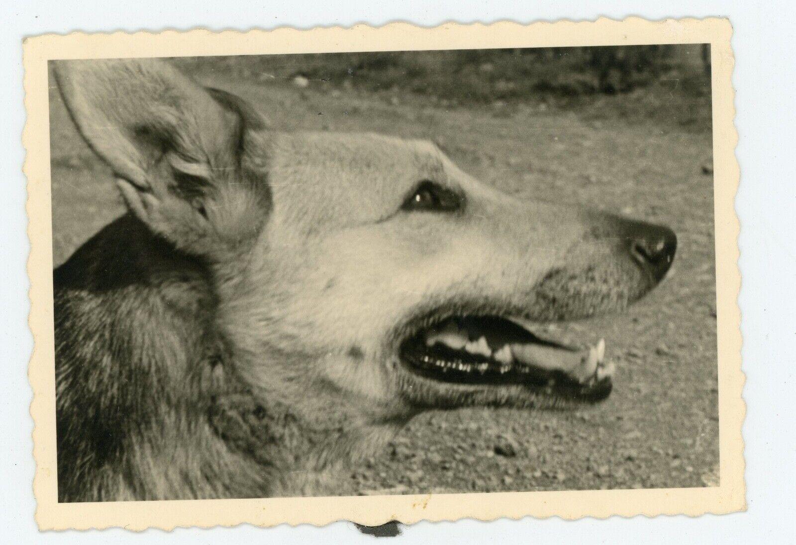Photo snapshot c.1960 . un berger allemand pose de profil . dog . chien