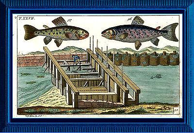 Lachs, Lachsforelle, Forelle - Kupferstich 1800 altkoloriert, Graphik - Fische