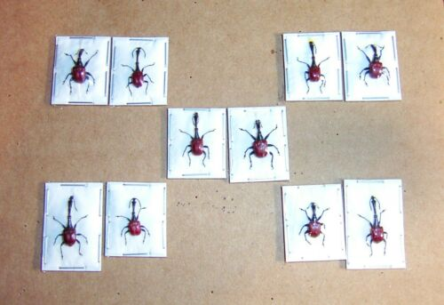 Trachelophorus giraffa The giraffe weevil 5 Pairs Adult Specimens