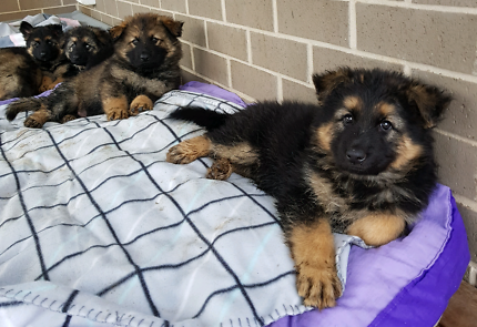 Old style purebred German Shepherd Puppies