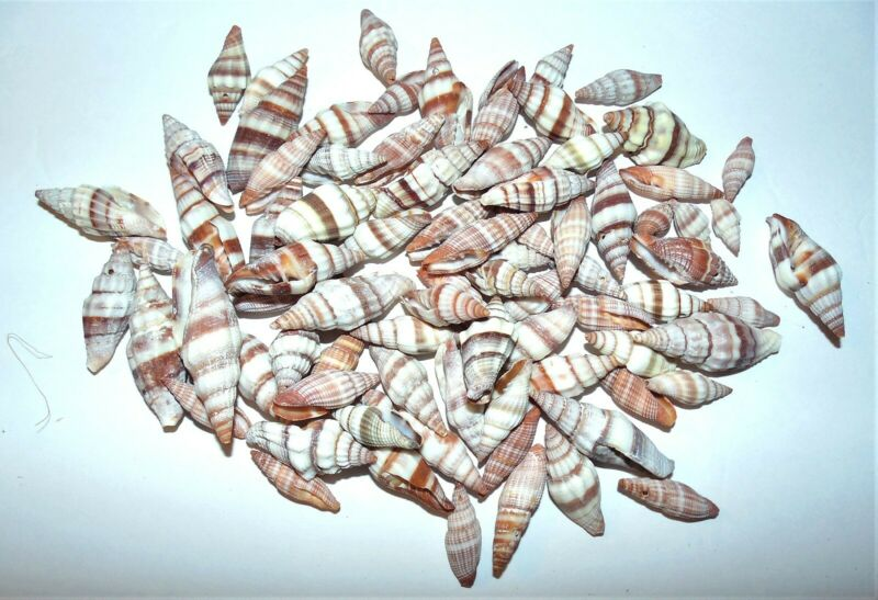 1/2  POUND  MITRA ACUMINATA  SEA SHELLS - BEACH  DECOR NAUTICAL GREAT FOR CRAFTS