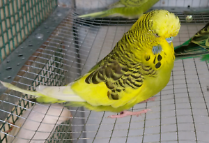 Adult and baby budgies Texas Inverell Area Preview