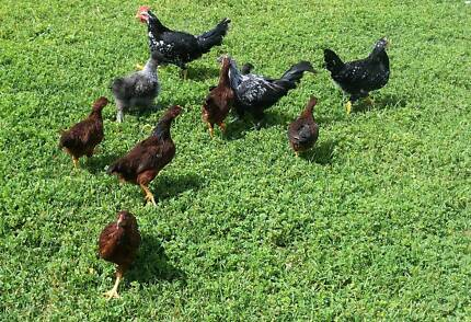 Chickens for sale Biloela Banana Area Preview