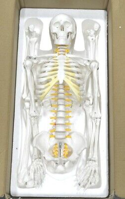 Axis Scientific 31 Mini Human Skeleton Model With Metal Stand