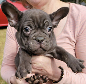 French bulldog PUPPIES AVAILABLE NOW- all registered
