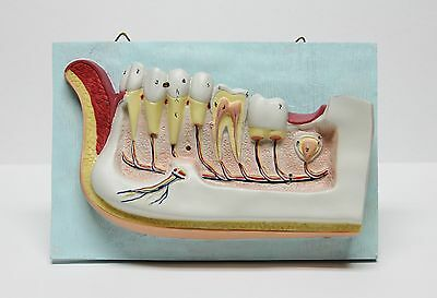 Dentist Dental Teeth Oral Anatomy Physiology Teaching Hanging Decoration Model