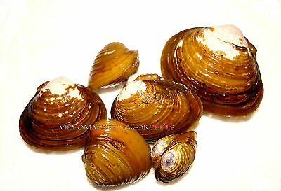 15 Live Freshwater Clam Pond Aquarium Filter Feeder Water Clarifier Captive Bred