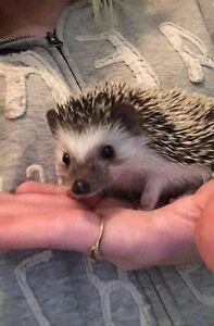 Baby male hedgie :)