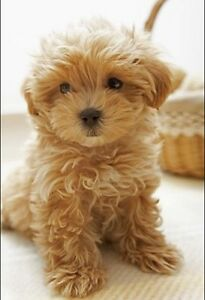 Wanted a Toy Poodle/ Poodle, small Puppy
