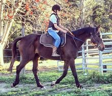 Quiet 5 year old TB Gelding Gloucester Gloucester Area Preview