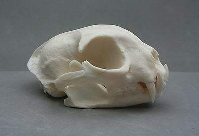 Lynx  Animal Skull Replica Taxidermy Study Large Cat Ornament