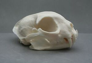 Lynx-Animal-Skull-Replica-Taxidermy-Study-Large-Cat-Ornament