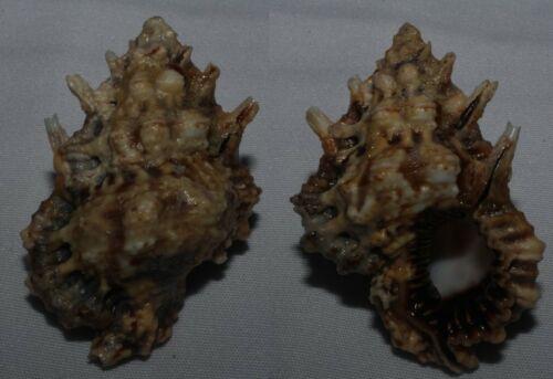 Seashells Bursa lamarckii LAMARCKS