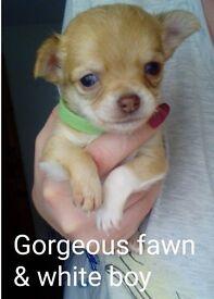 Pure Chihuahua puppies